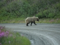 Griz Crossing Road